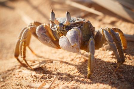 arenas movedizas: Cangrejo fantasma Mar Rojo, Ocypode saratan sentado en la arena, la luz de la ma�ana, la costa del Mar Rojo, cerca de Sharm El Sheikh, Egipto