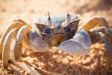 quicksand: Red Sea ghost crab, Ocypode saratan sitting on the sand, the morning light, the Red Sea coast, near Sharm El Sheikh, Egypt