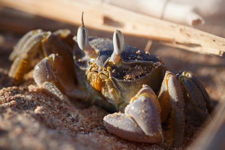 sinai peninsula: Red Sea ghost crab, Ocypode saratan sitting on the sand, the morning light, the Red Sea coast, near Sharm El Sheikh, Egypt