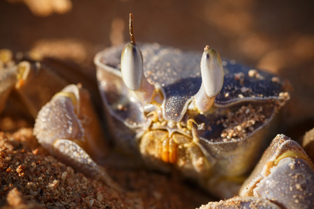 gravelly: Red Sea ghost crab, Ocypode saratan sitting on the sand, the morning light, the Red Sea coast, near Sharm El Sheikh, Egypt