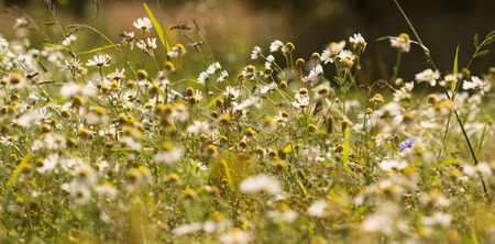 susceptibility: Summer background: daisies on a sunny meadow