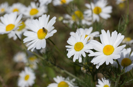 anthesis: Summer background: daisies on a sunny meadow