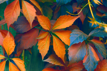 sear and yellow leaf: Natural background: leaves of bright colors