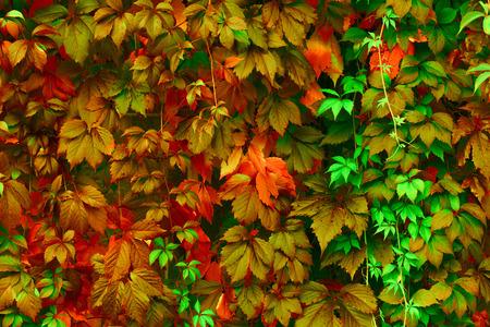 feuillage: Fond naturel: feuilles de couleurs vives