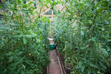 green house effect: Growing vegetables in greenhouses