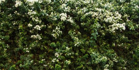 ivy hanging: Flower wall background for wedding scene
