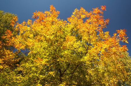 sear and yellow leaf: Bright autumn leaves on a clear day