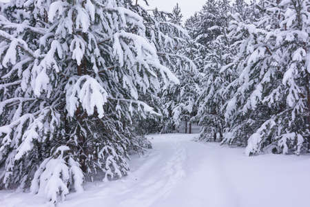 pinetree: Beautiful winter landscape with snow covered trees Stock Photo
