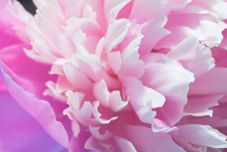 pinks: Soft Pink Peony Flower, Extreme Closeup, Abstract Spring Nature Background Stock Photo