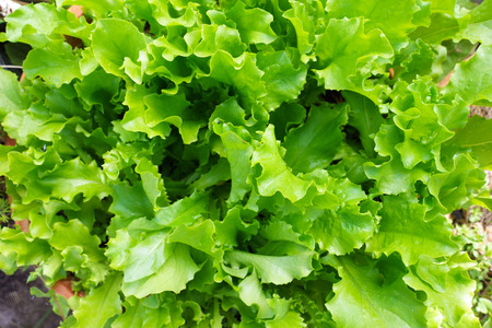 homegrown: Closeup Of Fresh Salad Plants In The Garden, Homegrown Natural Healthy Organic Food, Green Corrugated lettuce On Entire Background