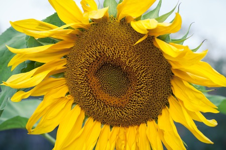efflorescence: Sunflowers In Bloom, Bright Yellow Flower Outdoors In Field, Harvest Of Sunflowers, First Phase Of Production Of Edible Sunflower Oil, Agricultural Business, Summer farming, Food production industry