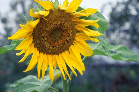 efflorescence: Bright Yellow Flower Of A Sunflower On Industrial Agriculture Farmer Field For The Production Of Liquid Vegetable Oil, Regrowing Raw Materials, Food Production Industry, Profitable Summer Flowers