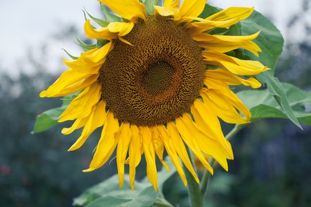 efflorescence: Sunflower Oil Production, Sunflower Head, Sunflowers Blooming Closeup On Sunflower Field, Overcast, Detail Of Sunflower, Agricultural Business, Summer farming, Regrowing Raw Materials, Food Production Stock Photo