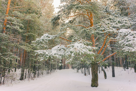 Wintry Landscape Scenery With Flat County And Woods, Snow Landscape Background For Retro Christmas Card, Winter Trees In Wonderland. Winter Scene, Christmas, New Year Background, Winters Tale