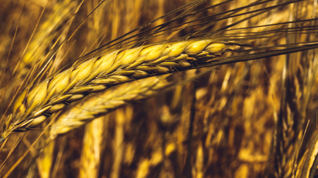 Golden Ripe Wheat Field, Sunny Day, Selective Soft Focus, Agricultural Landscape, Growing Wheat, Cultivate Crop, Autumnal Harvest Season Concept, Art Gold Wheat Field and Sunny Day, Rye Field