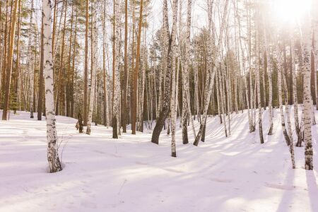 arboleda: Birch Grove in Sunny Winter Day, Birch Trees Trunks, Winter Birch Wood, March Landscape with White Birches, Concept of Eco, Winter Forest Background in a Sunny Day