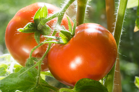Ripe Tomatoes Growing on the Branches, Cultivated in the Garden, Gardening, Agriculture and Culinary Concept,  Food Background, Growth Tomato Stock Photo