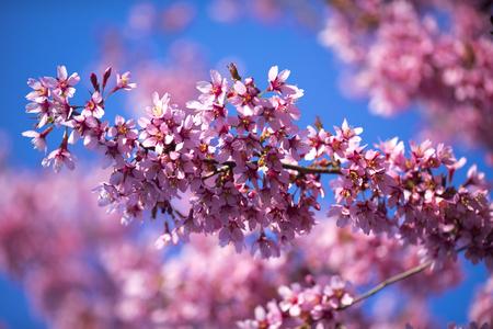 Spring Shidarezakura, Weeping Cherry, Beautiful Pink Cherry or Cherry Blossom, Blooming Spring Tree, Spring Floral Background, Sakura, Cherry Blossom, Cherry Tree with Flowers, Oriental Cherry Blooming