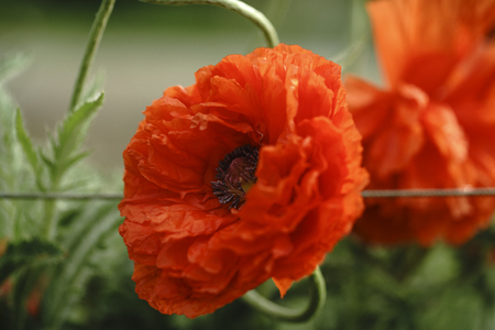 Beautiful Single Flower Head, Red Ranunculus Shining Satin/Silk Poppy Blossoms with Detailed Texture, Blooming Poppies on a Sunrise
