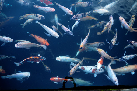 chub: Many kind of fish in water
