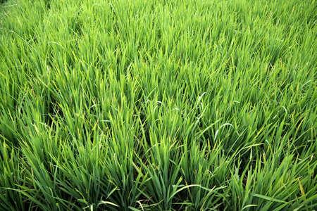 beautyful: Green rice field is very beautyful