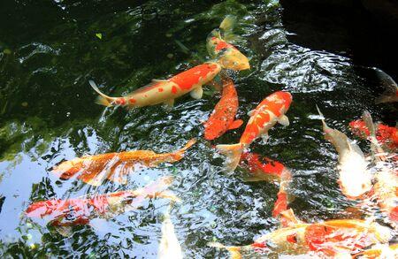 koi: Many Koi fish is so cute Stock Photo