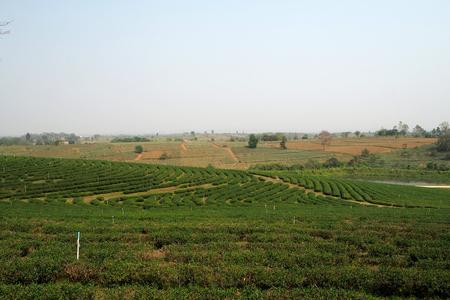 The big tea plantation look nice and beautyful