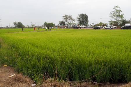 The green rice field look so nice and beautyful