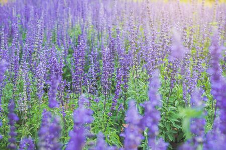 Purple Lavender background blooming. Lavandula angustifolia, Lavandula officinalis