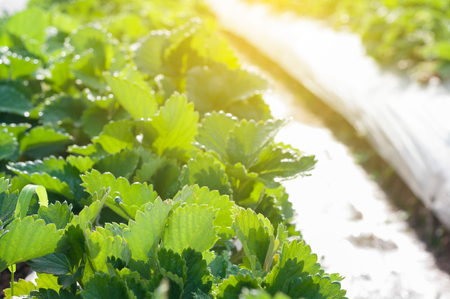 Close up Strawberry green leaf growing in farm garden with dew cold weather background
