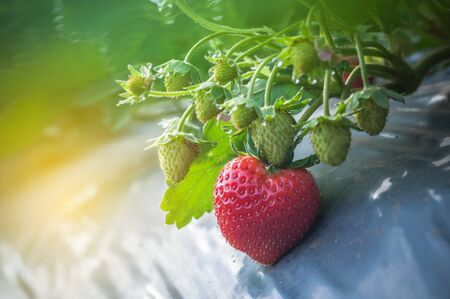 Close up Strawberry growing in farm garden with dew cold weather white space background