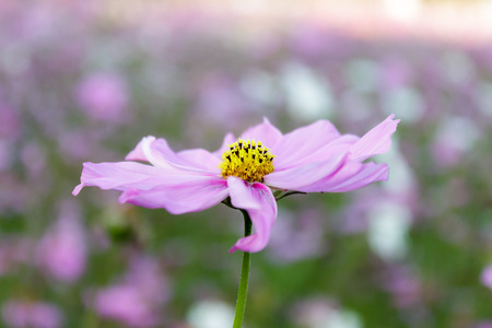 Cosmos flower in Thailand photo