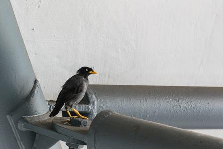 bird of israel: acridotheres Stock Photo