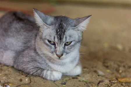 gray cat: The gray cat Stock Photo