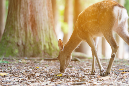 whitetailed: Deer in the jungle in Nara city, Japan
