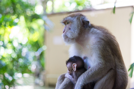 monkies: The monkey with baby monkey Stock Photo