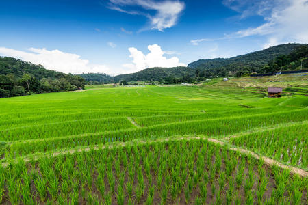 rice fields on terraced  , rice plantations , Chiangmai province , North of thailand