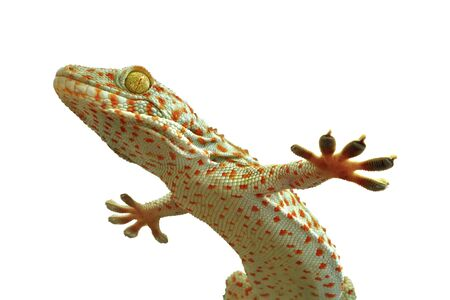 gecko: gecko, Stock Photo