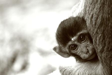 animalia: monkey, Stock Photo