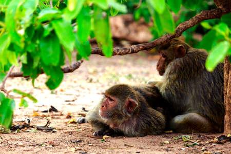 animalia: monkey