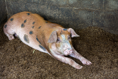 The pig is happily sleeping in a farm, which is run after the philosopy of sufficient economy.