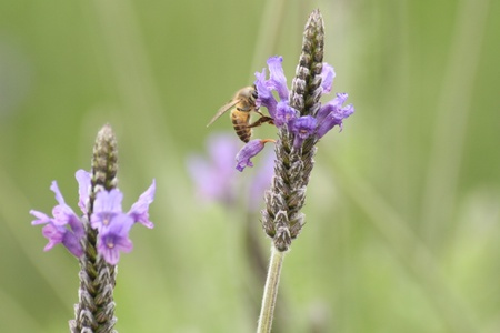 Bee on a violet flower    Stock Photo