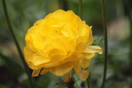yellow rose blooming in a garden Stock Photo - 12182148