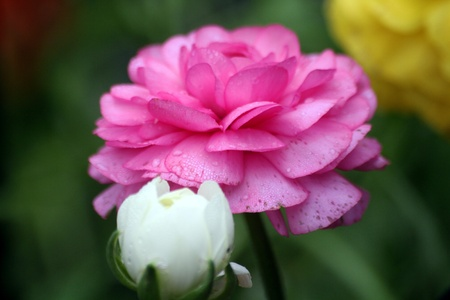 pink rose blooming in a garden Stock Photo