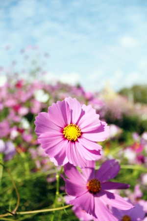 Cosmos colorful flowers garden in spring