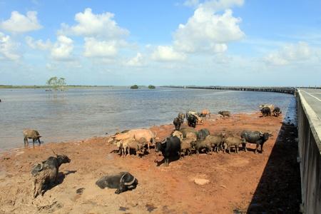 Amazing water buffalo , thailand Stock Photo