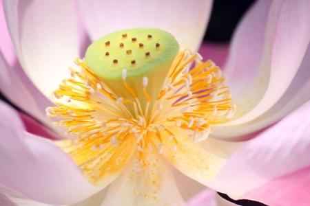 Pink lotus Stock Photo - 12708335