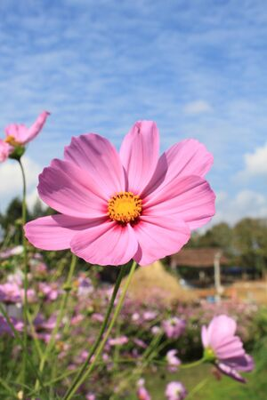 Pink cosmos flower and sky