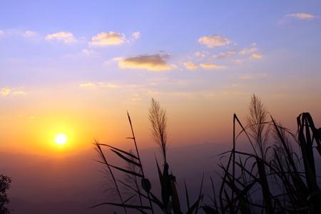 horizental: Flora grass over sunset