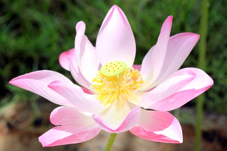 Pink lotus Stock Photo - 12927908